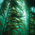 caracteristici alga kelp