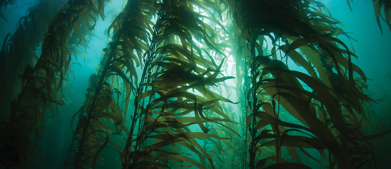 Kelp, proprietati si beneficii, un supliment recomandat tuturor
